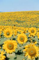 ひまわり畑 09508000227| 写真素材・ストックフォト・画像・イラスト素材|アマナイメージズ
