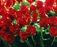 赤、バラ、多数