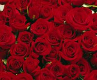 赤、バラ、多数 09517000203| 写真素材・ストックフォト・画像・イラスト素材|アマナイメージズ