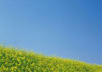 菜の花畑と空