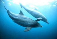 御蔵島で泳ぐミナミバンドウイルカの親子