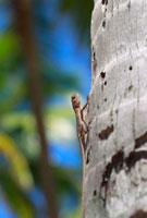 モルディブのリゾートに生息する野生のトカゲ 09521000796| 写真素材・ストックフォト・画像・イラスト素材|アマナイメージズ