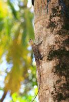 モルディブのリゾートに生息する野生のトカゲ