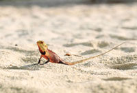モルディブのビーチを歩くトカゲ