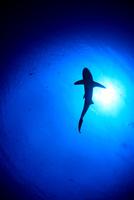 陽光を浴びて悠然と泳ぐサメのシルエット