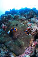 陽光を浴びて泳ぐオレンジフィンアネモネフィッシュ