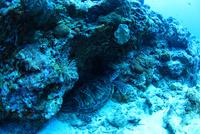 アオウミガメの家は岩礁帯