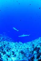 悠然と泳ぐサメ(ホワイトチップリーフシャーク)