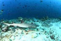 モルディブの海底を泳ぐネムリブカとアカモンガラの群れ