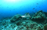 モルディブの海を舞うマダラトビエイの幼魚