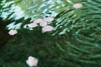 水面に桜の花びら