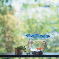 金魚 10114000236| 写真素材・ストックフォト・画像・イラスト素材|アマナイメージズ