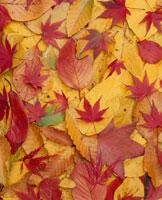 紅葉 10114000243| 写真素材・ストックフォト・画像・イラスト素材|アマナイメージズ