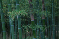 竹林 10119000025| 写真素材・ストックフォト・画像・イラスト素材|アマナイメージズ