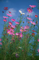 草原のコスモスと空