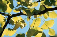 イチョウの枝葉