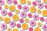 黄色とピンクのコスモスのシート 10120001588| 写真素材・ストックフォト・画像・イラスト素材|アマナイメージズ