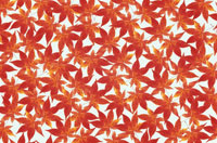 カエデの紅葉のシート 10120001605| 写真素材・ストックフォト・画像・イラスト素材|アマナイメージズ