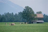 牧場の牛と小屋 ドイツ