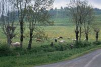 小道と牧場の牛 ドイツ