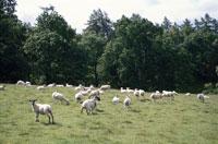 ヒツジの群れと森林 イギリス 10120002234| 写真素材・ストックフォト・画像・イラスト素材|アマナイメージズ