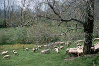 ヒツジの群れと1本の木 イギリス 10120002235| 写真素材・ストックフォト・画像・イラスト素材|アマナイメージズ