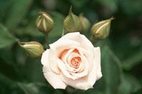 1輪の白いバラ