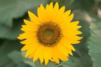 ヒマワリ 10120002601| 写真素材・ストックフォト・画像・イラスト素材|アマナイメージズ