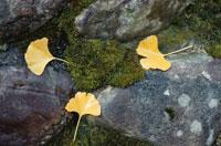 3枚のイチョウの黄葉 10120002753| 写真素材・ストックフォト・画像・イラスト素材|アマナイメージズ