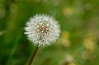 タンポポの綿毛 10120002917| 写真素材・ストックフォト・画像・イラスト素材|アマナイメージズ