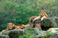 ライオンの群れ