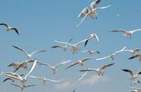 カモメの群れ 10120002925| 写真素材・ストックフォト・画像・イラスト素材|アマナイメージズ