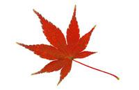 紅葉したモミジ