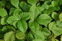 緑の葉 10120003087| 写真素材・ストックフォト・画像・イラスト素材|アマナイメージズ