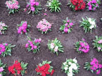 並べて植えられた花