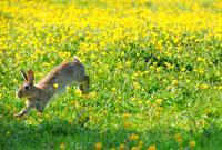 キンポウゲの花畑とウサギ