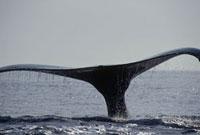 ザトウクジラのしっぽ