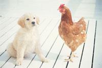 犬(ゴールデンレトリバー)とニワトリ