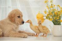 犬と2羽のアヒルのヒナ