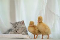 眠るネコと2羽のアヒルのヒナ