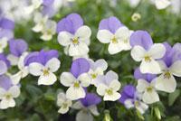 白と紫の小花ビオラ