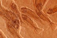 魚の化石 10131003776| 写真素材・ストックフォト・画像・イラスト素材|アマナイメージズ