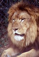 ライオン 10131012371| 写真素材・ストックフォト・画像・イラスト素材|アマナイメージズ