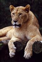 ライオン 10131012374| 写真素材・ストックフォト・画像・イラスト素材|アマナイメージズ