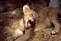 子供のライオン