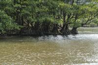 仲間川の瀬の中にもマングローブ