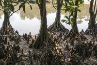 マングローブの林と水辺 10131015225| 写真素材・ストックフォト・画像・イラスト素材|アマナイメージズ