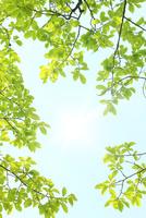 新緑の葉っぱ 10131017040| 写真素材・ストックフォト・画像・イラスト素材|アマナイメージズ