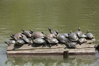 奈良県猿沢池の亀