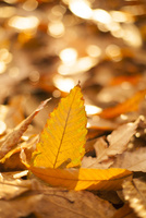 クヌギの落葉 10131024896| 写真素材・ストックフォト・画像・イラスト素材|アマナイメージズ